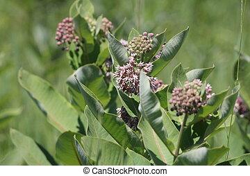 Milkweed Plant-Flowering (Asclepias syriac) - Flowering...