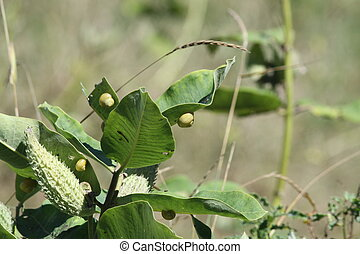Milkweed Plant, Pods and Snails - Snails, on the leaves of a...