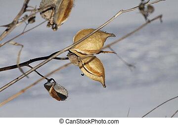 Milkweed Pod (Asclepias) Dried & Bu