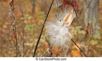 milkweed pod showing the seeds ready to scatter
