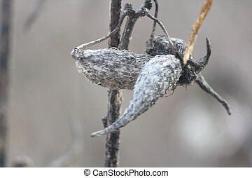 Milkweed Pods (Dried out)