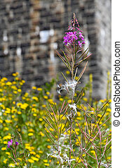 milkweed seedling in loosestrife - dried loosestrife...