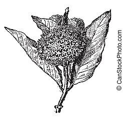 Milkweed, vintage engraving. - Milkweed, vintage engraved...