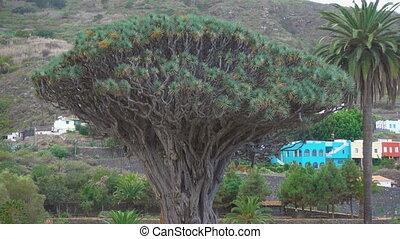 Millennial Drago tree (Dracfena draco) in Icod de los Vinos,...