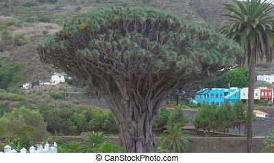 Millennial Dragon tree (Dracfena draco) in Icod de los...