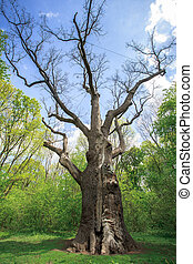 old dry oak - Millennium old dry oak on the background of ...