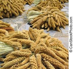 Millet Grain - Bushels of freshly harvested millet, left to...