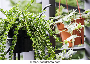 Million hearts dave and english ivy in flower pot in small...