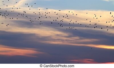 millionth flock of starlings flying at sunset, action, Birds...