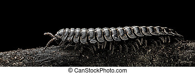 Millipede a small tropical athropod