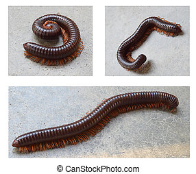 Millipede - Closeup of millipede crawling on the floor