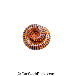 Millipede in isolated on white background