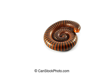 millipede isolated / brown millipede coiled animal insect wildlife