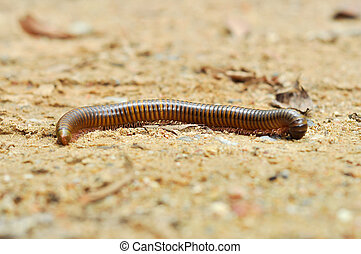 millipede - Millipedes are typically forest floor dwellers, ...