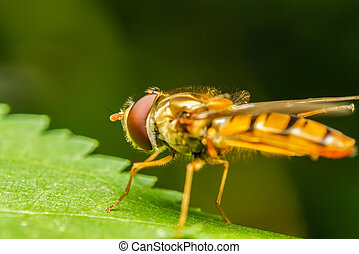 Mimetic Fly On A Leaf Macro