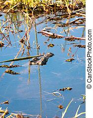 Mimicry - Crocodile hidden in a lake, Botswana, Africa