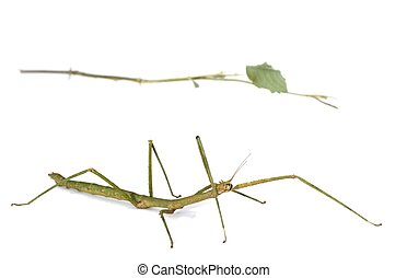 Mimicry, stick insect - An example of comuflage