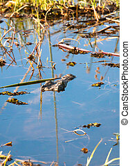 Mimicry - Crocodile hidden in a lake, Botswana, Africa