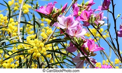 Mimosa and Bauhinia - Fluffy yellow mimosa balls and pink...
