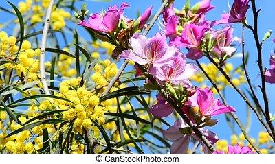 Mimosa and Bauhinia - Fluffy yellow mimosa balls and pink...