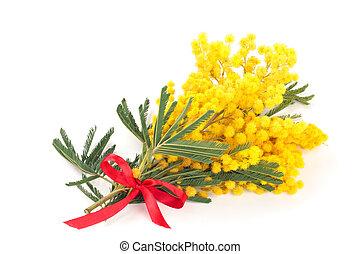 mimosa., branche