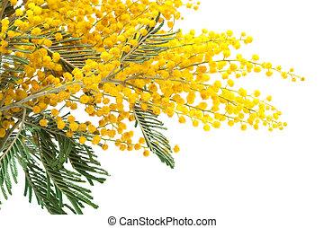 mimosa, branche