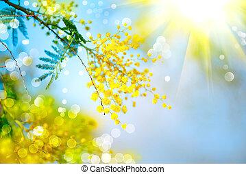 mimosa., fleurir, arrière-plan., sur, printemps, arbre, ciel...