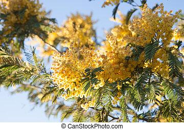 mimosa, fleurs, arbre, jaune