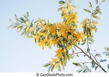 mimosa, fleurs, branche, jaune