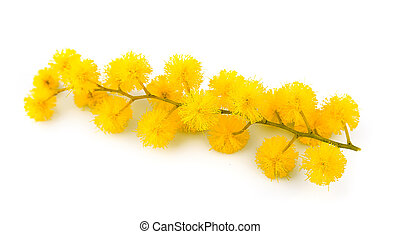 mimosa, fleurs, brindille