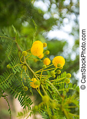 mimosa, fleurs, jaune