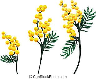 mimosa, flores