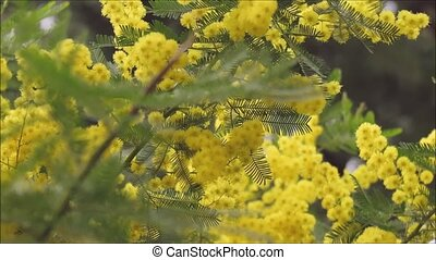 mimosa flower in the garden