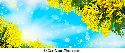 Blooming spring mimosa tree over blue sky