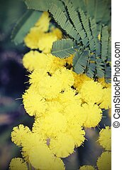 yellow mimosa flowers for International Women's Day