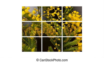 Mimosa. Mimosa Spring Flowers black background. Blooming...
