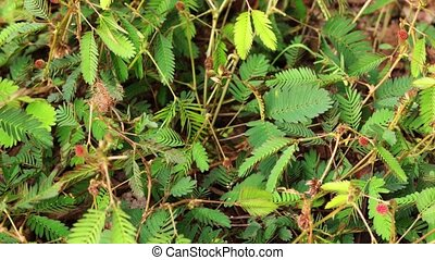 Mimosa pudica also called sensitive plant, sleepy plant, Dormilones, touch-me-not, or shy plant. Time lapse shot in 6k resolution