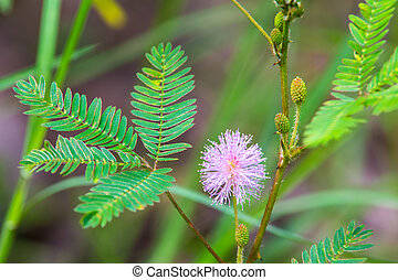 mimosa, pudica