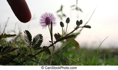 Mimosa pudica Linn known as sensitive plant, sleepy plant, Dormilones, touch-me-not or shy plant.