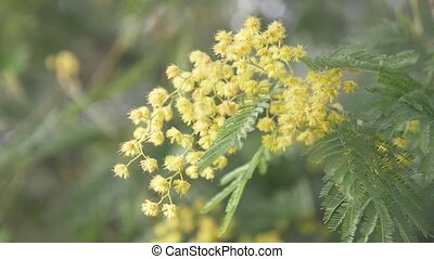 Mimosa Spring flowers Easter background. Blooming mimosa...