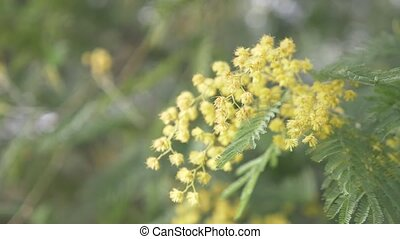 Mimosa Spring flowers Easter background. Blooming mimosa tree. close-up. 4k, slow motion