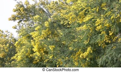 Mimosa Spring flowers Easter background. Blossoming mimosa tree against a sky. 4k, slow motion