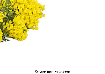 Mimosa symbol of Women's Day close up on white