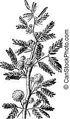 Mimosa, vintage engraving.