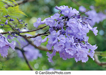 mimosifolia, jacaranda