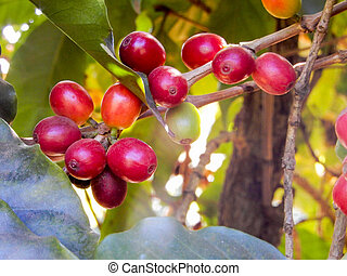 Coffee bean on coffee tree in cafe plantation