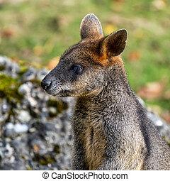 mindre, översvämma, wallabia, en, bicolor, vallaby, kängurur