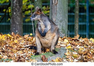 mindre, vallaby, bicolor, wallabia, kängurur, en, översvämma