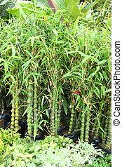 mini, bambus