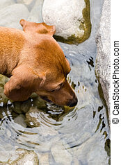 Mini Dachshund Thirst - Closeup of a miniature dachshund...